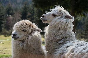 Universidad chilena vende su hallazgo de anticuerpos neutralizante de alpaca contra covid-19