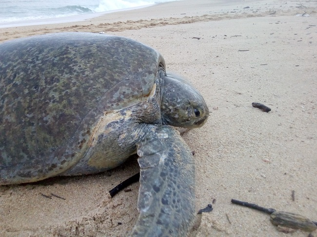 Con biometría digital desarrollan en el IPN sistema de reconocimiento de tortugas marinas para su conservación